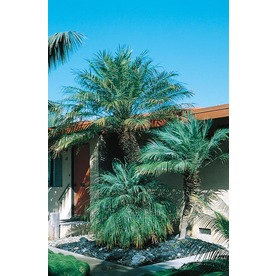 10.25-Gallon Pygmy Date Palm (L7542)