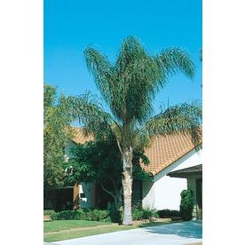 10.25-Gallon Queen Palm (L6258)