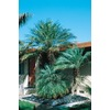 24.5-Gallon Pygmy Date Palm (L7542)