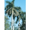 12-Feet Florida Royal Palm (L0049)