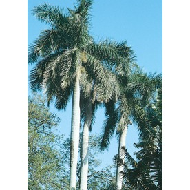 16-Feet Florida Royal Palm (L0049)