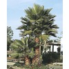 12-ft Mexican Fan Palm (L3048)