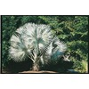 10.25-Gallon Bismarckia Palm (L14163)