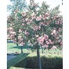 2-Gallon Oleander (Tree Form) (L24109)