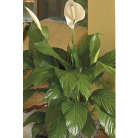 1.4-Quart Peace Lily (L20977hp)