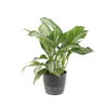 1.99-Quart Aglaonema (L20910hp)