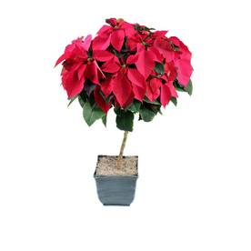 2.50-Gallon Poinsettia Tree (L22289)