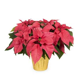 2-Quart Poinsettia Temporary (L22289)
