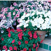 3-Quart Temporary Container Petunia