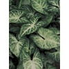 1.5-Gallon Arrowhead Plant (LW01508)