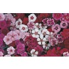 12-Pack Dianthus (L17860)