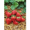 3-Quart Strawberry (L00574)