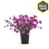 1-Quart Dianthus (L9857)