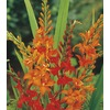 2.5-Quart Crocosmia (LB21791)