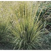 2.5-Quart Variegated Moor Grass (L16122)