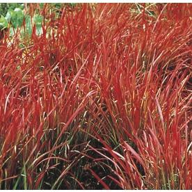 Shop 2 5 quart japanese blood grass l3065 at for Ornamental oat grass varieties