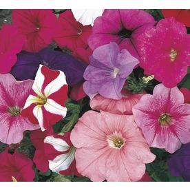1-Pint Petunia (L17355)