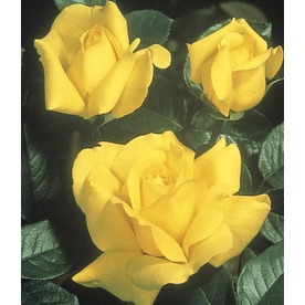 1-Pint Victory Rose (L24779)