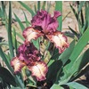 Rock Star Bearded Iris (L15950)