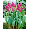 Purple Flag Tulip Bulb