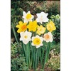  Mix Daffodil Bulb