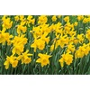  King Alfred Daffodil Bulb
