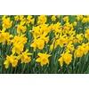 King Alfred Daffodil Bulb