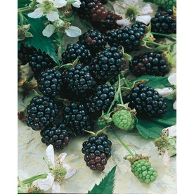  Apache Thornless Blackberry (L14292)