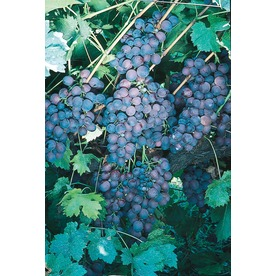 Black Monukka Seedless Grape (LW00687)