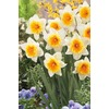 Slim Whitman Daffodil Bulb