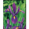 16-Count Purple Sensation Dutch Iris (L14621)