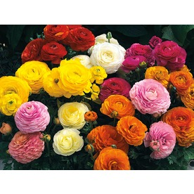 18-Count Persian Buttercup (L17846)