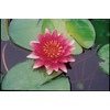 Attraction Waterlily (LB21730)