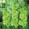 Spring Green Gladiolus Bulbs