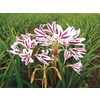 Red/White Crinum Lily (LB22084)