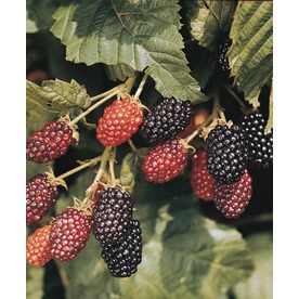 Ebony King Blackberry Small Fruit (L21308)