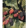  Ebony King Blackberry (L21308)