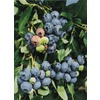 Jersey Blueberry Small Fruit (L8707)