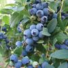 Bluecrop Blueberry Bulb