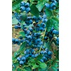  Blueray Blueberry (L5243)