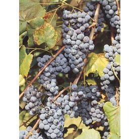 Concord Grape Small Fruit (L4863)
