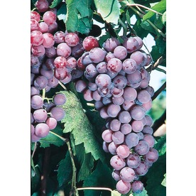 Flame Seedless Grape (L1274)