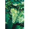 Thompson Seedless Grape (L1418)
