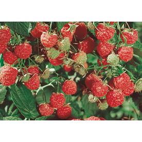 Latham Raspberry Small Fruit (L9949)