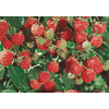 1-Count Latham Raspberry Small Fruit (L9949)