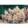 Pink Peegee Pink Hydrangea Flowering Shrub (L7730)