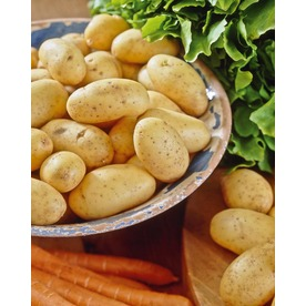 10-Count Yukon Gold Potato Plant (LB21585)