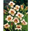 2-Count Siloam Ury Winniford Daylily (L15749)