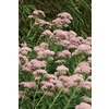 Autumn Joy Sedum (L9315)