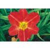 2-Count Red Rum Daylily (L7359)